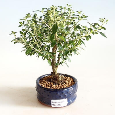 Izbová bonsai - Serissa foetida Variegata - Strom tisíce hviezd - 1