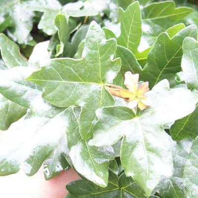 Venkovní bonsai-Acer campestre-Javor babyka - 1