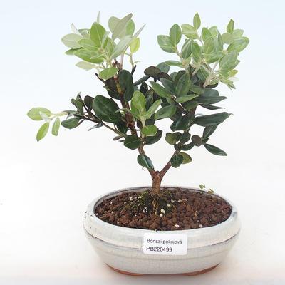 Pokojová bonsai - Metrosideros excelsa - Železnatec ztepilý PB220499 - 2