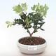 Pokojová bonsai - Metrosideros excelsa - Železnatec ztepilý PB220499 - 2/3