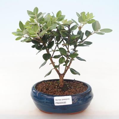 Pokojová bonsai - Metrosideros excelsa - Železnatec ztepilý PB220500 - 2