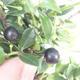 Izbová bonsai - Ilex crenata - Cezmína - 2/3