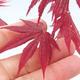 Venkovní bonsai - Acer palm. Atropurpureum-Javor dlanitolistý červený - 2/3
