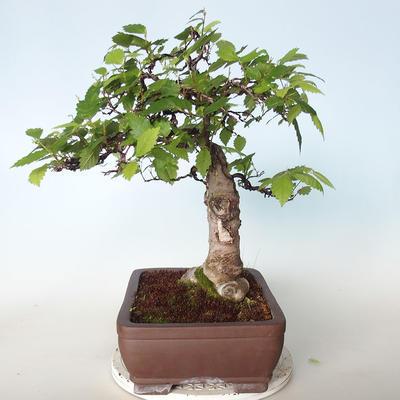 Venkovní bonsai - Zelkova - 2