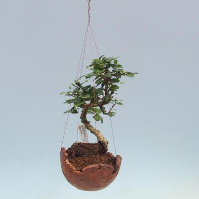 Kokedama v keramice - Čaj-fuki - Carmona macrophylla - 2