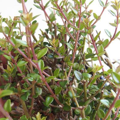 Venkovní bonsai-Lonicera nitida-Zimolez - 2