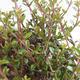 Venkovní bonsai-Lonicera nitida-Zimolez - 2/2