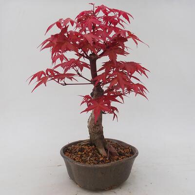 Vonkajšie bonsai - Javor palmatum DESHOJO - Javor dlaňolistý - 2