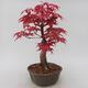 Vonkajšie bonsai - Javor palmatum DESHOJO - Javor dlaňolistý - 2/5