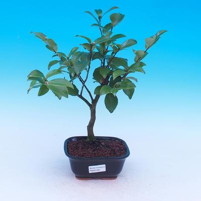 Izbová bonsai-Camellia euphlebia-Kamélie - 2