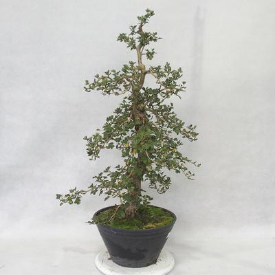 Venkovní bonsai - Hloh růžové květy - Crataegus laevigata paul´s  Scarlet - 2