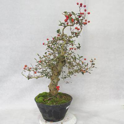 Venkovní bonsai - Hloh bílé květy - Crataegus laevigata - 2