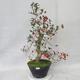 Venkovní bonsai - Hloh bílé květy - Crataegus laevigata - 2/6
