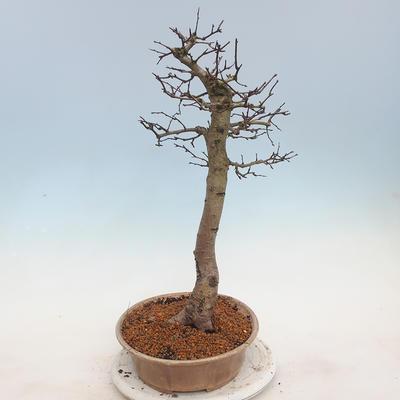 Venkovní bonsai - Hloh jednosemený - 2