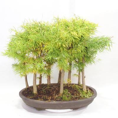 Venkovní bonsai - Pseudolarix amabilis - Pamodřín - lesík 9 stromů - 2