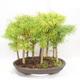 Venkovní bonsai - Pseudolarix amabilis - Pamodřín - lesík 9 stromů - 2/5