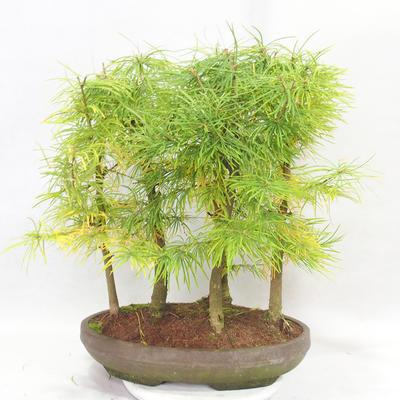 Venkovní bonsai - Pseudolarix amabilis - Pamodřín - lesík 5 stromů - 2