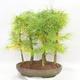 Venkovní bonsai - Pseudolarix amabilis - Pamodřín - lesík 5 stromů - 2/5