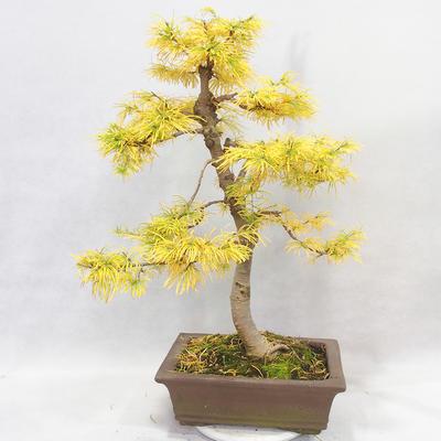Venkovní bonsai - Pseudolarix amabilis - Pamodřín - 2