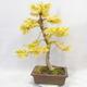 Venkovní bonsai - Pseudolarix amabilis - Pamodřín - 2/6