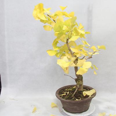 Venkovní bonsai - Jinan dvoulaločný - Ginkgo biloba - 2