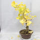 Venkovní bonsai - Jinan dvoulaločný - Ginkgo biloba - 2/7