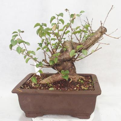 Vonkajšie bonsai -Mahalebka - Prunus mahaleb - 2
