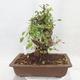 Venkovní bonsai -Mahalebka - Prunus mahaleb - 2/5