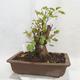 Vonkajšie bonsai -Mahalebka - Prunus mahaleb - 2/5