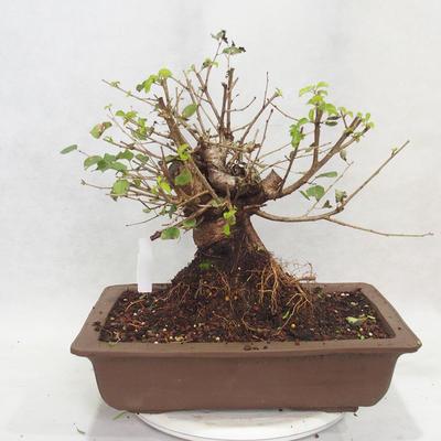 Venkovní bonsai -Mahalebka - Prunus mahaleb - 2