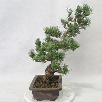 Venkovní bonsai - Pinus parviflora - Borovice drobnokvětá - 2