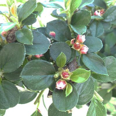 Venkovní bonsai-Cotoneaster horizontalis-Skalník - 2