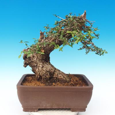 Izbová bonsai - Olea europaea sylvestris -Oliva európska drobnolistá - 2