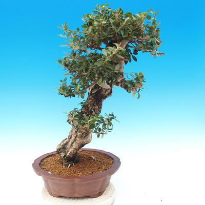 Pokojová bonsai - Olea europaea sylvestris -Oliva evropská drobnolistá - 2
