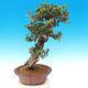 Pokojová bonsai - Olea europaea sylvestris -Oliva evropská drobnolistá - 2/7