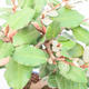Pokojová bonsai -Eleagnus - Hlošina - 2/3