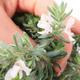 Pokojová bonsai -Westrigea sp. - Westringie - 2/3