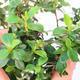 Pokojová bonsai -Wscallonia sp. - Zábluda - 2/3