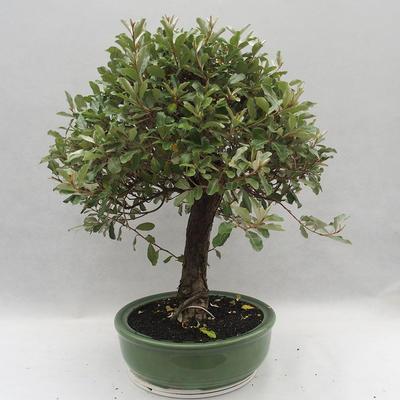 Izbová bonsai -Eleagnus - hlošina - 2