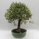 Izbová bonsai -Eleagnus - hlošina - 2/6