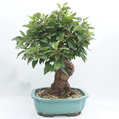 Vonkajší bonsai -Malus halliana - Maloplodé jabloň - 2