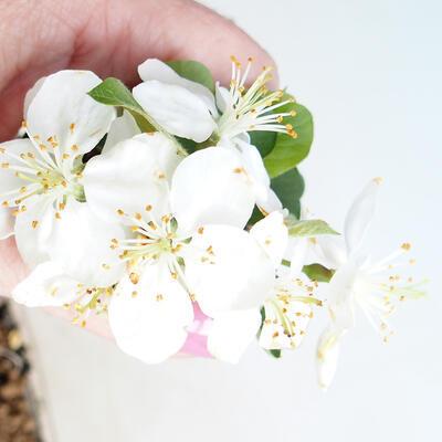 Venkovní bonsai - Malus sargentii -  Maloplodá jabloň - 2