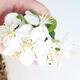 Venkovní bonsai - Malus sargentii -  Maloplodá jabloň - 2/4