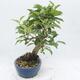 Vonkajší bonsai -Malus halliana - Maloplodé jabloň - 2/6