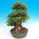 Vonkajšie bonsai - Javor Buergerianum - Javor Burgerův - 2/6