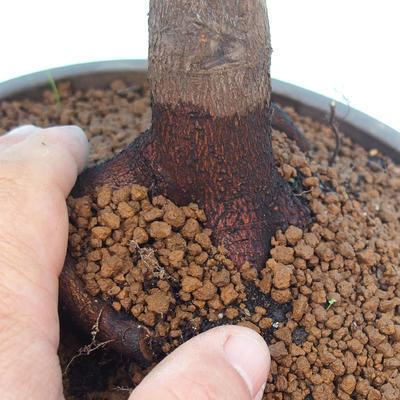 Vonkajšie bonsai - Acer palm. Atropurpureum-Javor dlaňolistý - 2