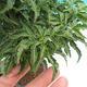 Venkovní bonsai - Acer palmatum SHISHIGASHIRA- Javor malolistý - 2/3