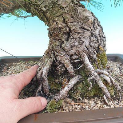 Venkovní bonsai - Pinus thunbergii - Borovice thunbergova - 2