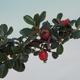 Venkovní bonsai-Cotoneaster horizontalis-Skalník - 2/2