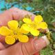 Venkovní bonsai-Mochna křovitá - Dasiphora fruticosa žlutá - 2/3